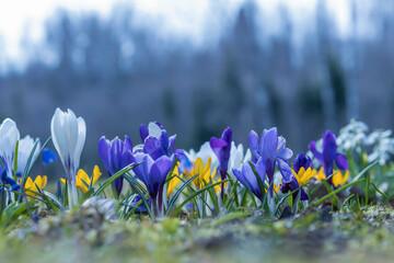 Purple crocus flowers in closeup, selective focus