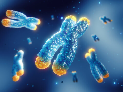 Telomeres are found on both ends of chromosomes. Telomere length is affected by lifestyle and has direct impact on human health and lifespan. Chromosome damage and repair concept.