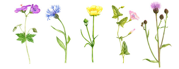 watercolor drawing set of wild flowers