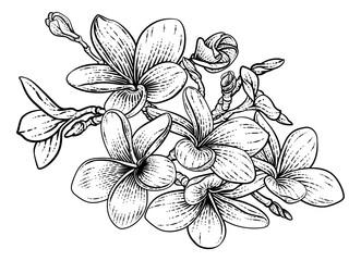 Fototapeta Tropical Plumeria Frangipani Bali Flower Woodcut