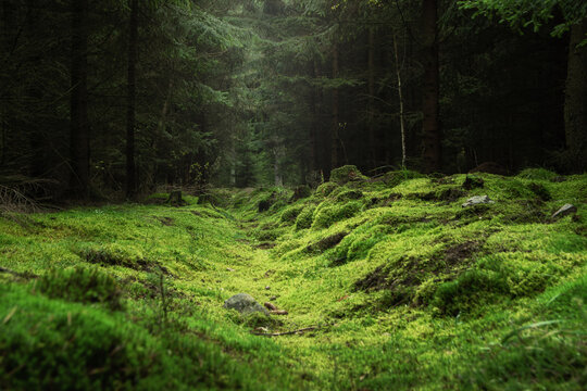 Beautiful and peaceful forest with green moss covering the forest floor