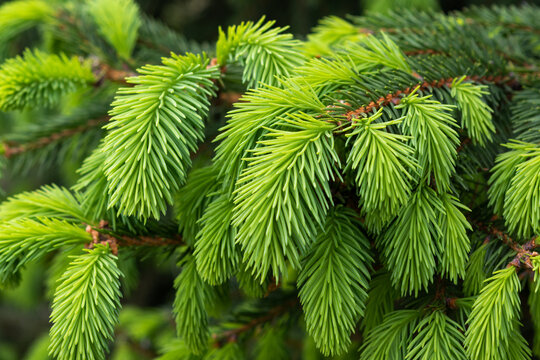 Branch of pine needles gives the young shoots