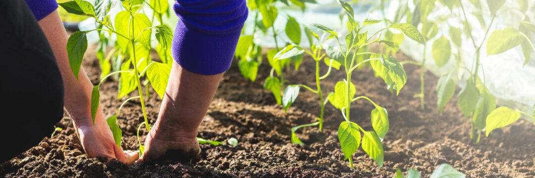 Gardeners hands planting and picking vegetable from backyard garden. Gardener prepares soil for seeding