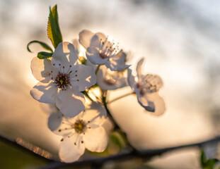 wiosenne kwitnące drzewa owocowe