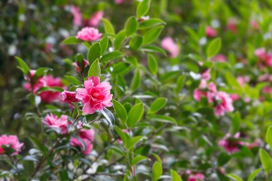 赤く綺麗な椿の花