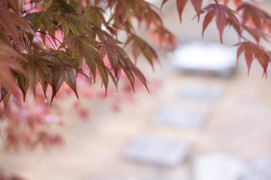 雨に濡れたモミジの葉