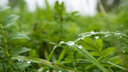 Fototapeta Lush green grass with large drops of dew. Macro photo