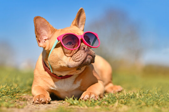 Very cool French Bulldog dog wearing pink sunglasses in summer on hot day