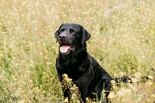 Happy Black labrador dog outdoors in nature in yellow flowers meadow. Sunny spring