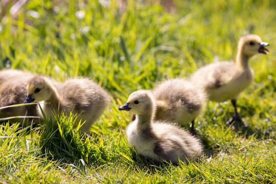 Family of young Canada Goose with newly hatched goslings