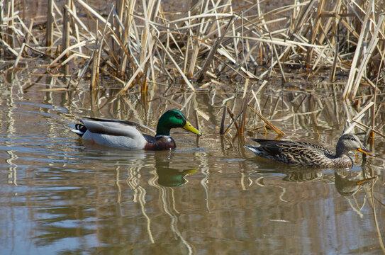 A Male Mallard Duck (Anas platyrhynchos) in the Water