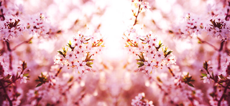 Spring banner. Branches of blossoming cherry on sunny background. Pink flowers panorama.