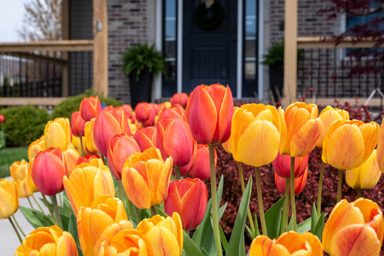 Beautiful yellow and orange tulips at the front entrance of a home