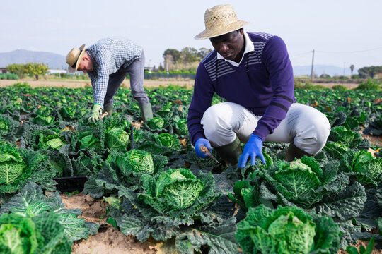 Middle age american man farmer in gloves picking green cabbage at a vegetable farm on a sunny spring day