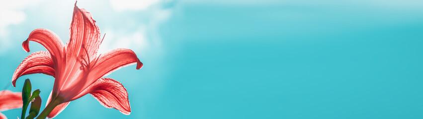 Fototapeta Garden lily flower in backlit sun on a sky background banner panoramic