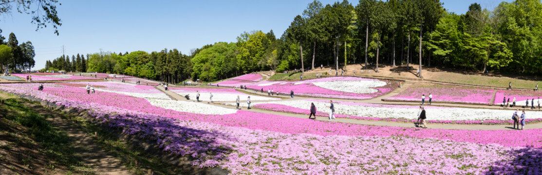 「芝桜の丘(羊山公園)」秩父 埼玉県