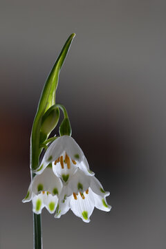 Leucojum aestivum.White summer snowflake flowers,spring bloomimg time