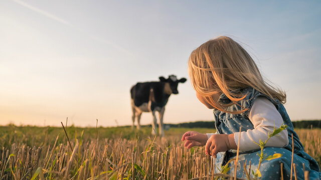 A little girl looks at a young cow in a field on a warm summer evening.