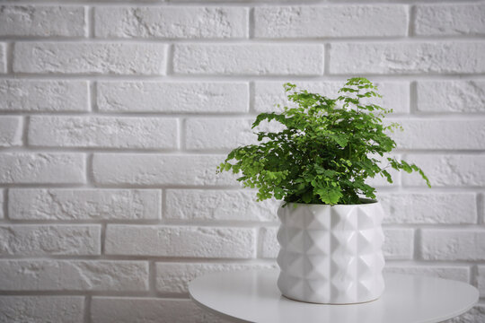 Beautiful fresh potted fern on table near white brick wall. Space for text