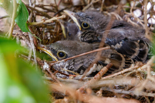 Juvenile baby Northern Mockingbirds in a bird nest in a ficus tree found near residence in Coral Springs South Florida in Broward County near Miami Dade, Palm Beach and Everglades National Park.
