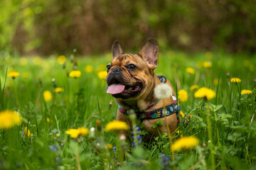 Fototapeta French Bulldog in the meadow