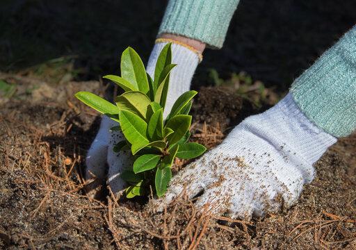 Gardener puts rhododendron bush in ground.