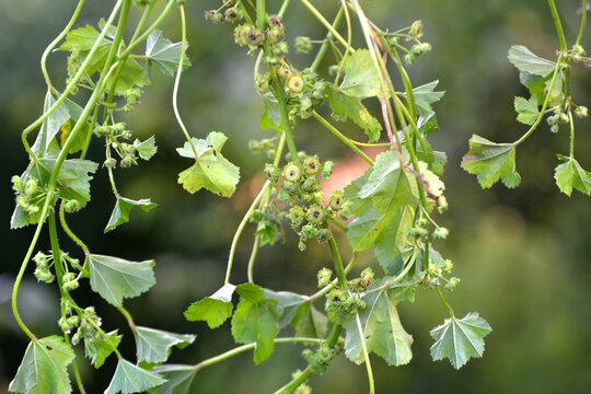 Mallow (Malva pusilla, Malva rotundifolia) grows in nature in summer