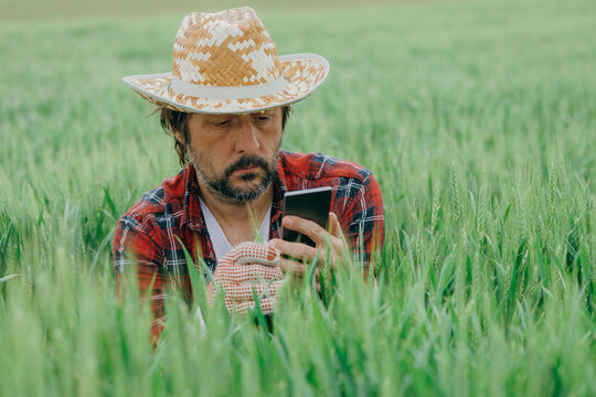 Farmer taking picture of green wheat crops with smartphone
