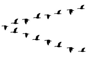 A wedge of geese flying in the sky, isolated on a white background. Vector stock illustration.