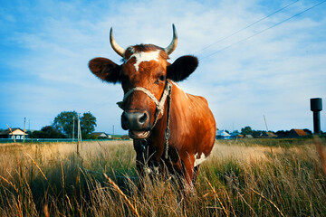 Brown cow on a summer day