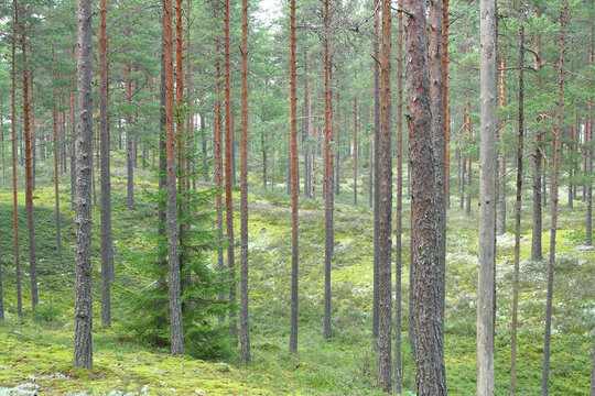 tree trunks in a pine forest