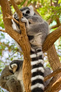 lemur on the canary islands
