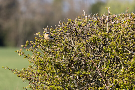 Northern Wheatear (Oenanthe oenanthe) resting in a hedge in the spring sunshine