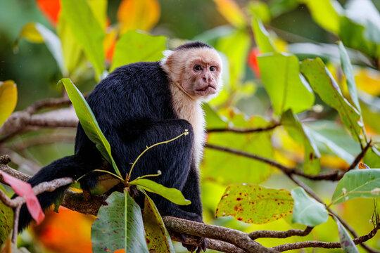 Panamanian white-faced capuchin (Cebus imitator), also known as the Panamanian white-headed capuchin or Central American white-faced capuchin sitting in a tree in Manuel Antonio in Costa