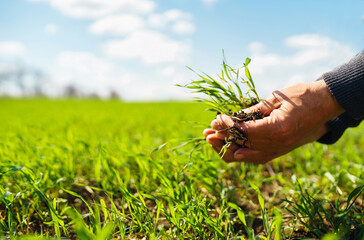 Fototapeta Young Green wheat seedlings in the hands of a farmer. Agronomist checks and explores sprouts of rye. Ripening ears of wheat field. Agricultural business. obraz