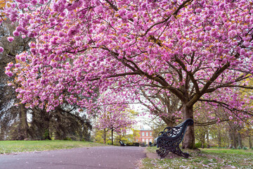 Blooming Cherry Blossom in Greenwich Park, London - April 2021 - Landscape