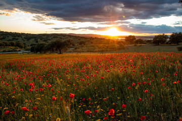 Obraz Sunset in a poppy field with trees in the background. - fototapety do salonu