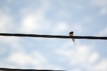 Fototapeta Mały ptak jaskółka stojąca na drutach przewodach elektrycznych
