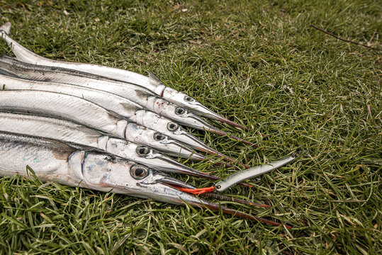 six garfish on the grass biting the red silk thread of a lure