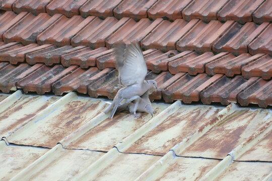 Fotoserie -  Zwei Tauben beim Balztanz auf einem alten Dach