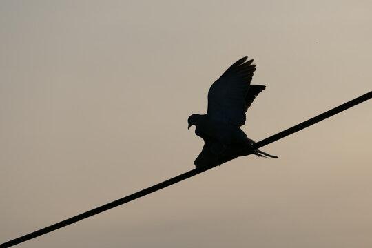 Silhouette zweier Tauben beim Liebesspiel - Abendhimmel, Taube, Liebe, Silhouetten, Stromleitung, Romantik, Love, Balztanz