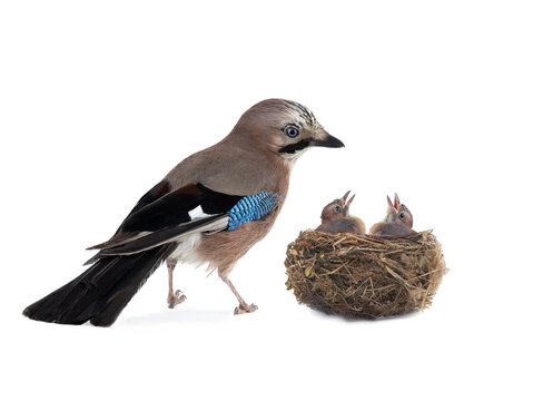 jay near its nest on a white background