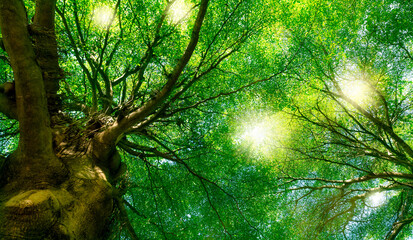 Obraz Bottom view of green tree in the forest with sunlight. Fresh environment in park. Green plant give oxygen in summer garden. Forest tree with small leaves. Beauty in nature. Ecosystem. Environment day. - fototapety do salonu