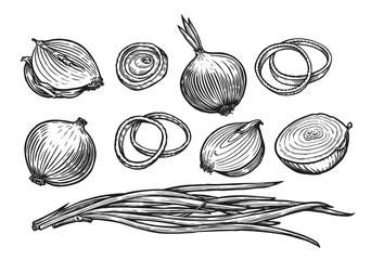 Fototapeta Onion bulb and rings. Fresh vegetables sketch vector illustration obraz