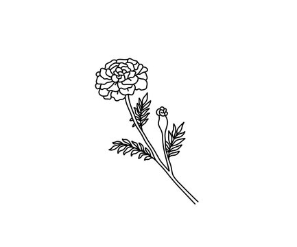 Vector isolated marigold contour line drawing. Colorless black and white marigold flower blossom outline sketch tattoo