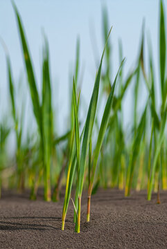 Sprouts of a young plant of reeds in a flooded area.