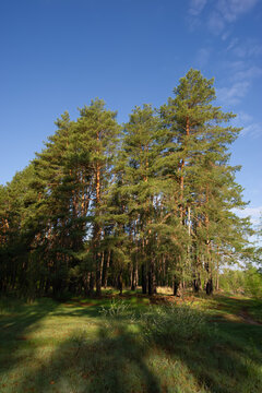 trees in a pine forest and shadows in a meadow on a sunny morning.