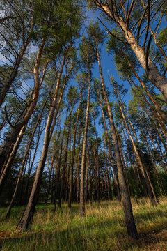 Pine tree trunks converging towards the sky upwards on a sunny morning.