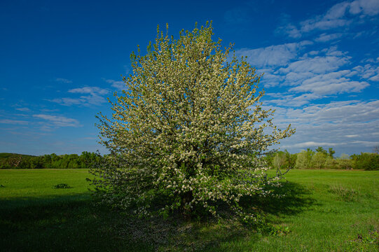 Blooming apple tree in the meadow on a sunny day.
