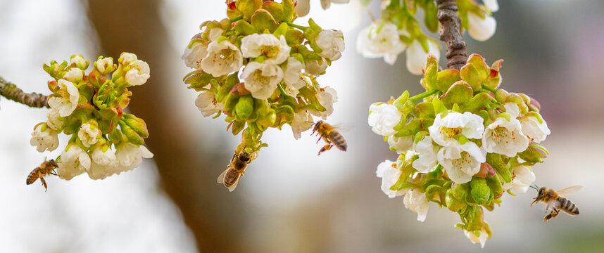 bee (Apis mellifera) close up on cherries flowers
